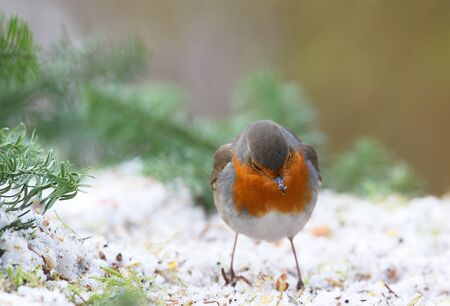 erithacus: robin  Erithacus rubecula  in a winter garden Stock Photo
