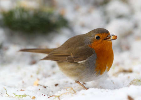 robin  Erithacus rubecula  in a winter garden photo