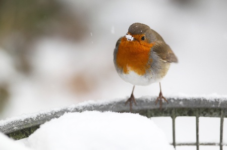 robin  Erithacus rubecula  sitting on a metal fish basket covered in snow photo