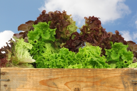 assorted lettuce in a wooden crate against a blue sky with clouds