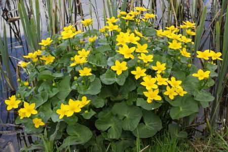 palustris: flowering marsh marigold  Caltha palustris subsp  palustris