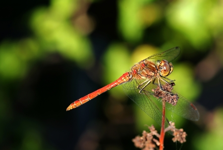 dropwing: Ruddy darter  Sympetrum sanguineum  on top of a branch