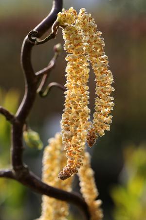 corylus: Male Hazel catkins of the corkscrew hazel  Corylus avellana contorta  in spring