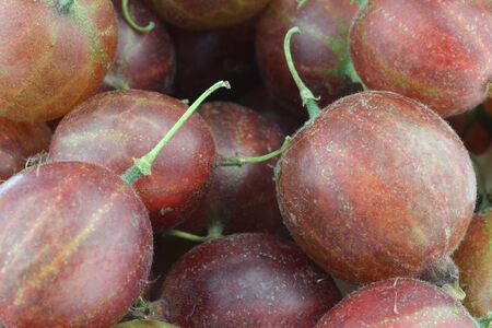 gooseberries: gooseberries Ribes uva-crispa background