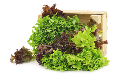 freshly harvested red and green curly lettuce on a white background Imagens