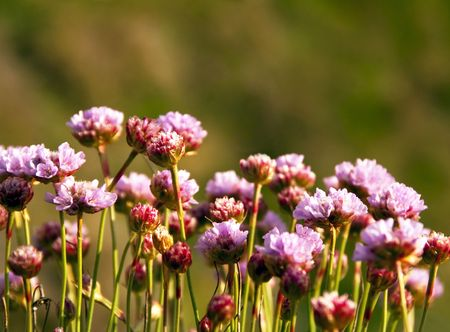 Armeria Maritima - Sea Pink or Thrift - Closeup on wild pink flowers on blurred background during sunset Stock Photo - 7259394