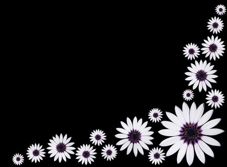 Group of Beautiful Osteospermum Asti White Daisy Flowers with purple center isolated on Black background.  Stock Photo - 7259395