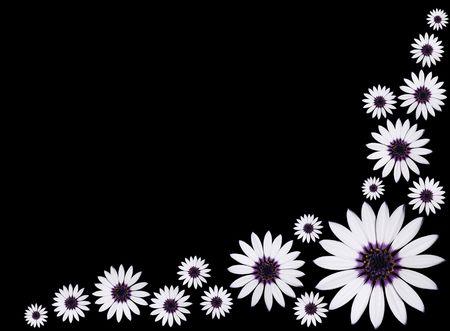 Group of Beautiful Osteospermum Asti White Daisy Flowers with purple center isolated on Black background. Stock Photo - 7259395