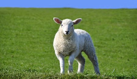 naivety: Cute Curious Lamb Looking at the Camera on a green grass field with a blue sky in Spring