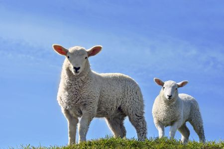 Two Cute Curious Lambs Looking at the Camera on a green grass field with a blue sky in Spring Stock Photo