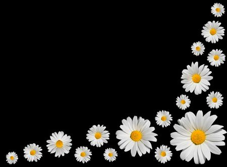 Osteospermum - Arranged Bunch of White Daisies with Yellow Center Isolated on Black Background Stock Photo - 7261198