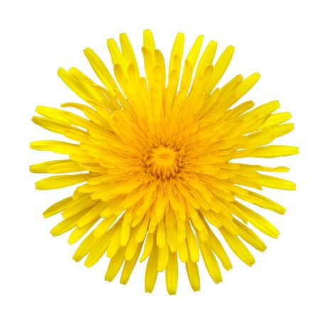 taraxacum: Taraxacum officinale -  Beautiful Yellow Dandelion Flower Isolated onWhite Background