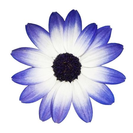 simple flower: Osteospermum - Beautiful Blue and White Daisy Flower Head top view