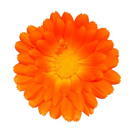 Orange Pot Marigold - Beautiful Calendula officinalis Isolated on White Background. Top view