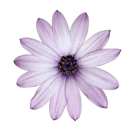 Osteospermum - Beautiful Light Purple Daisy Flower Head top view isolated on white background