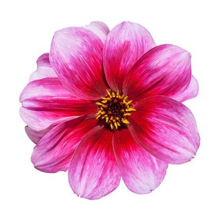 dalia: Hermosa rosa flores p�rpura de la Dalia aislada sobre fondo blanco  Foto de archivo