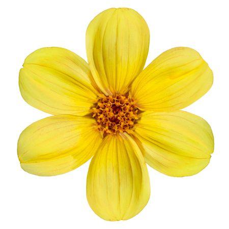 dahlia: Seis pétalos frescos de bella flor amarillo de Dalia aislada sobre fondo blanco
