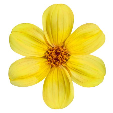Six Fresh Petals of Beautiful Yellow Dahlia Flower Isolated on White Background photo
