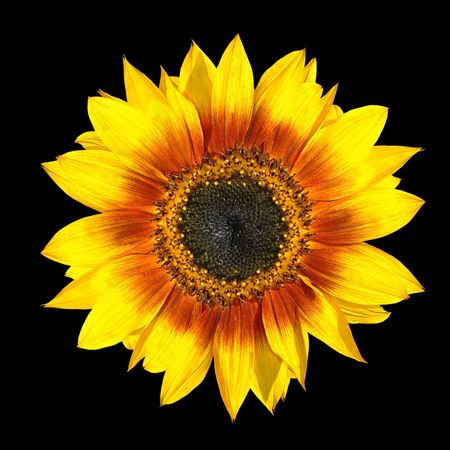 Fresh Yellow Sunflower Fresh Petals Closeup Isolated on Black Background photo