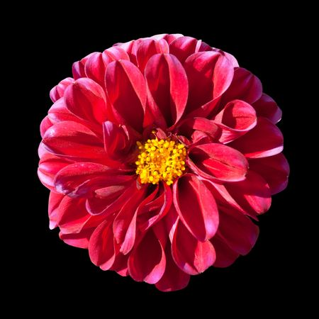 Beautiful Red Dahlia Flower with Yellow Center Isolated on Black Background photo