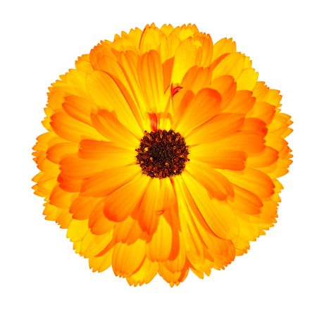 pot marigold: One Blossoming Orange Pot Marigold Flower - Beautiful Calendula officinalis Isolated on White Background. Top view