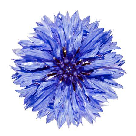 Single Blue Cornflower - Blue Centaurea cyanus Isolated on White Background photo