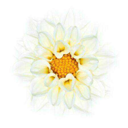 dalia: Fading de flor de Dalia blanco en fondo blanco