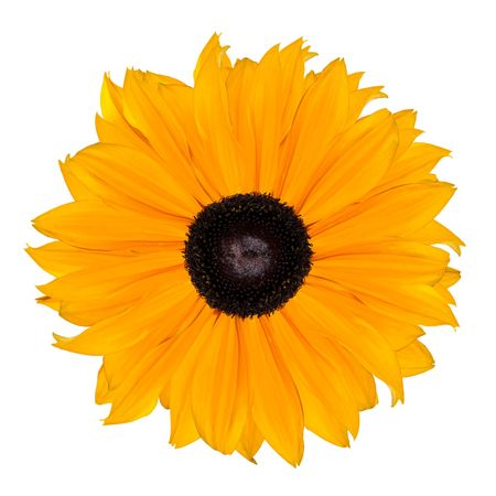 aster flowers: Yellow Rudbeckia Flower Abstract Isolated on White Background Stock Photo