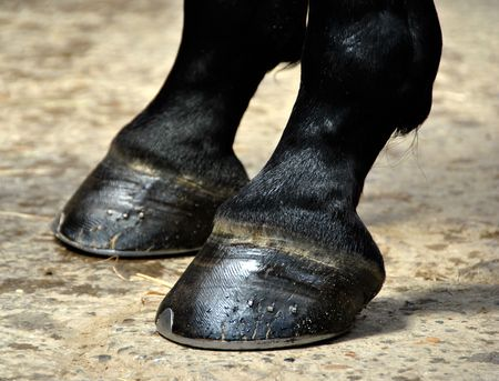 dressage: Horse Hoof - Closeu Detail on two Horse Hooves