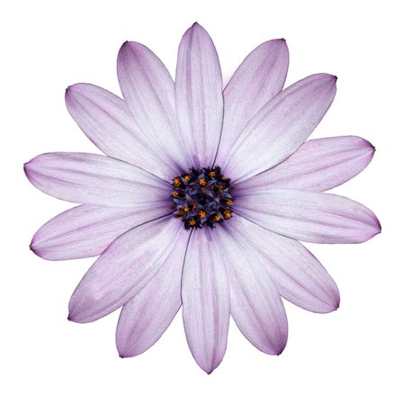 white with daisies: Beautiful Light Purple Daisy - Blossoming Osteospermum - Flower Head top view isolated on white background