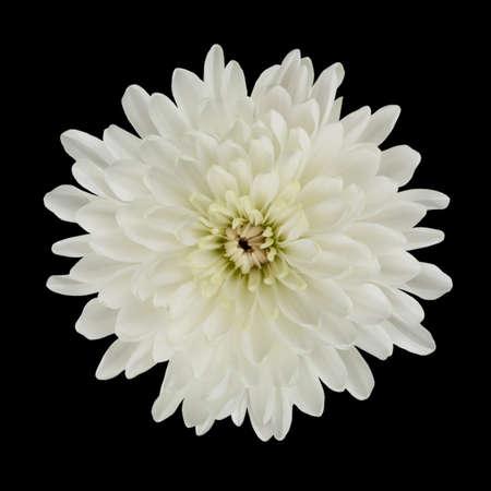 dalia: �nica flor blanca de Dalia aislada sobre fondo negro