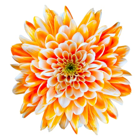 flowerhead: Single Orange and White Chrysanthemum Flower Isolated on White Background. Beautiful Dahlia Flowerhead Macro