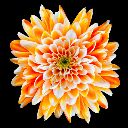 flowerhead: Single Orange and White Chrysanthemum Flower Isolated on Black Background. Beautiful Dahlia Flowerhead Macro Stock Photo