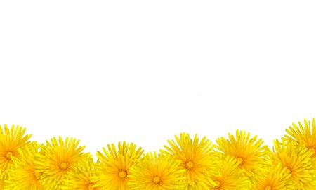 Beautiful Yellow Dandelion Flowers Card Background - Taraxacum officinale isolated on White background photo