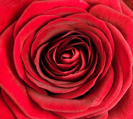 garden center: Closeup on Center of Beautiful Red Rose. Perfect Macro on Beautiful Big Rose Flowerhead Stock Photo