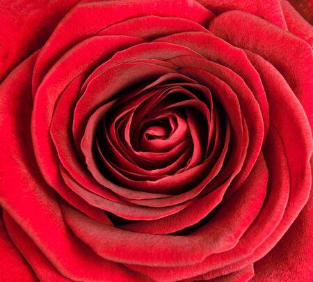 garden center: Closeup on Center of Beautiful Red Rose. Perfect Macro on Beautiful Big Rose Flowerhead Stock Photo