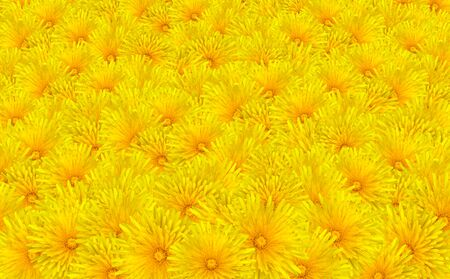 Beautiful Yellow Dandelion Flowers Background - Bunch of Taraxacum officinale Flowers photo