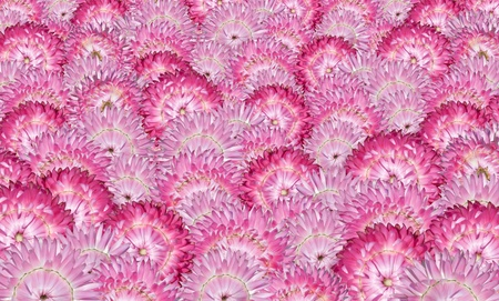 Selection of Perfect Pink Strawflowers Background - Bunch of Helichrysum Flowers photo