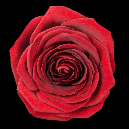 single object: Red Rose Flowerhead Isolated on Black Background. Top View on Big Red Rose Flower Stock Photo