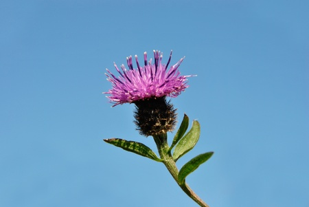 Scottish National Flower - The Thistle against blue sky photo