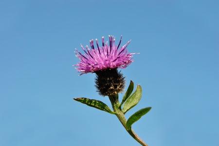 Scottish National Flower - The Thistle against blue sky photo