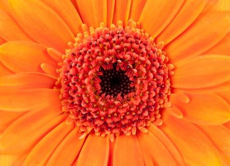 Orange Pot Marigold - Beautiful Orange Gerbera Closeups - Calendula officinalis - Top view Stock Photo - 9020815