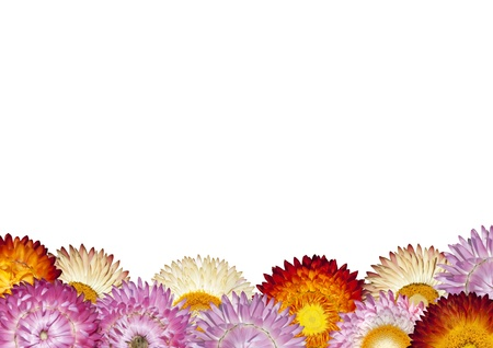 Row of Colorful Strawflowers on White Background - Beautiful Helichrysum Flowers photo