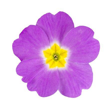 Single Purple Primrose Flower with Yellow Center Isolated on White Background. Macro on Primula Flower photo