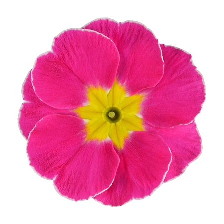 Single Pink Primrose Flower with Yellow Center Isolated on White Background. Macro on Primula Flower photo