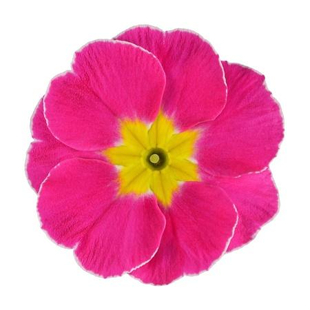 Single pink primrose flower with yellow center isolated on white single pink primrose flower with yellow center isolated on white background macro on primula flower mightylinksfo