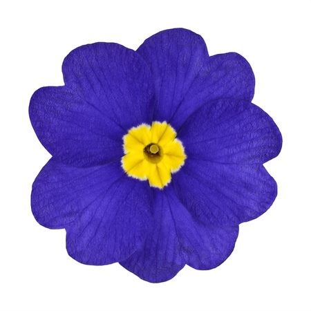Single Blue Primrose Flower with Yellow Center Isolated on White Background. Macro of Primula Flower Stock Photo