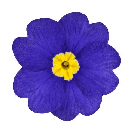 Single Blue Primrose Flower with Yellow Center Isolated on White Background. Macro of Primula Flower Stock Photo