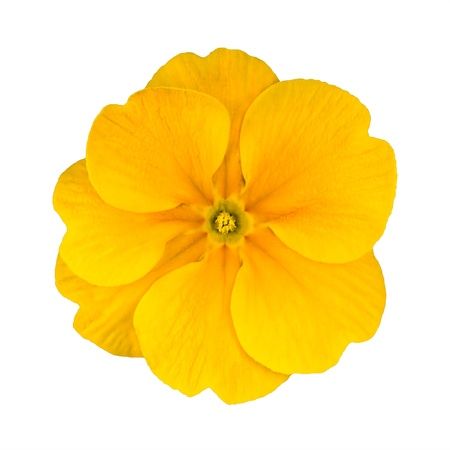 Single Yellow Primrose Flower Isolated on White Background. Macro on Primula Flower
