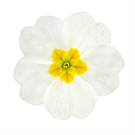 Single White Primrose Flower with Yellow Center Isolated on White Background. Macro of Primula Flower Stock Photo
